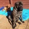 Voici Baron, le futur chien de thérapie qui est probablement le plus grand d'Australie