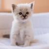 Elle achète un chat de race à 2000€ sur internet : elle attend la livraison, et c'est la douche froide