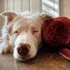 Après une année de séparation un chien sourd et aveugle retrouve avec une immense joie son « papi »