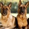 Classement des races de chiens préférées des Français : le Berger allemand toujours au top !