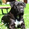 Cane Corso : tout savoir sur cette race de chien
