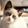 Covid-19 : les humains pourraient transmettre le virus à leur chat, selon une étude britannique