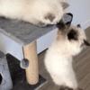 Deux chats font le show en rejouant une scène mythique du Roi Lion