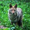 Le refuge pour chiens hébergeait… un coyote