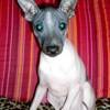 Une nouvelle race de chien : l'American hairless