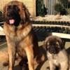 Top 10 des races de chiens les plus grands