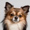 Recouvert d'épines de cactus, ce Chihuahua a impressionné tout le monde