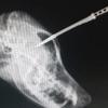 Ce chien continue à défendre son maître malgré un couteau planté dans son crâne