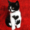 Grâce à sa tâche en cœur, cette chatte a fait craquer son humaine