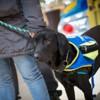 Oui, les chiens capables de détecter des crises d'épilepsie existent