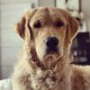 Son Golden Retriever s'approche d'une pente glissante, quand il voit ce que son chien fait, il éclate de rire