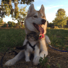 Un Husky adopte un chaton orphelin et fait de lui un vrai chiot !