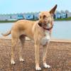 Maltraitée et mutilée, cette chienne survit après avoir reçu 17 balles dans le corps et devient une héroïne