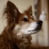 Un chien détecte le cancer de sa maîtresse avant les médecins