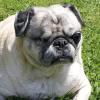 Monkie la chienne borgne décède un an après avoir été adoptée