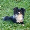 Balade avec son Berger Australien : quand il regarde le caca de son chien, un vent de panique s'empare de lui