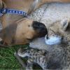 Pancake le bébé guépard et son meilleur ami le chiot