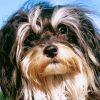 Les 10 races de chien les plus chères