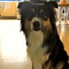 Médiation animale : un Berger australien intègre le CHU de Bordeaux