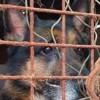 Acheté à prix d'or dans un élevage, ce Berger Allemand a vécu toute sa vie dans des conditions terrifiantes