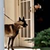 Conan, le chien héros du raid contre Daesh décoré par Donald Trump