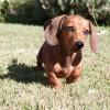 Teckel : tout savoir sur cette race de chien