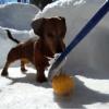 Quand deux adorables Teckels jouent au hockey (Vidéo du jour)