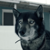 Togo : l'histoire héroïque et vraie d'un chien de traineau qui a tout fait pour sauver sa ville de la maladie