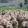 L'agriculteur s'approche de son troupeau de moutons : ce qu'il voit au milieu le fait courir vers son téléphone
