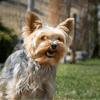 Yorkshire, Staffies, Loulous de Poméranie : en France, les enlèvements de chiens se multiplient