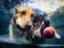 2 chiens piscine balle