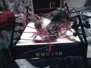 chat joue sur ring boxe