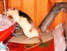 rat mangent fil electrique