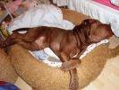 chien shar pei dort panier