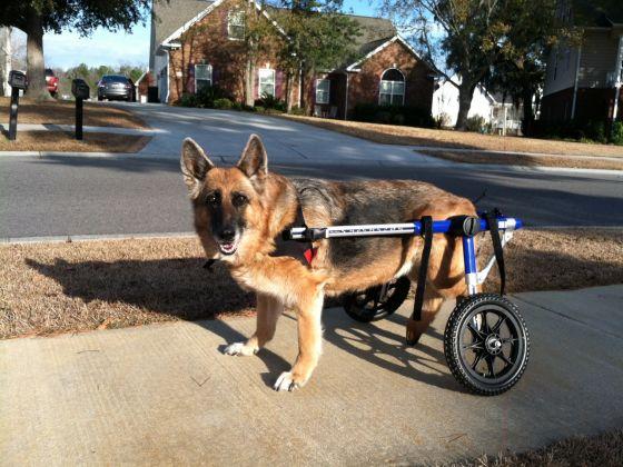 chien berger allemand handicap