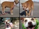 chien pitbull abandon adoption