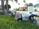 chien basset handicap