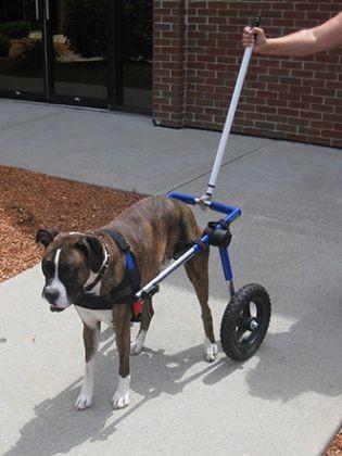 chien handicap dysplasie