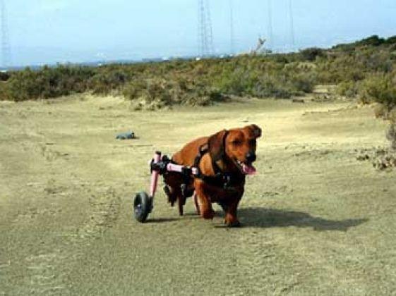 chien teckel handicap