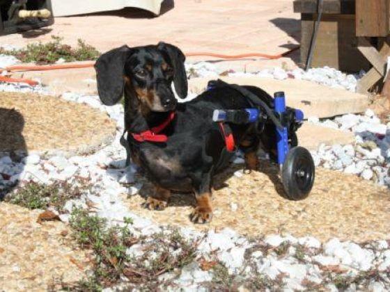 chien teckel paralysé