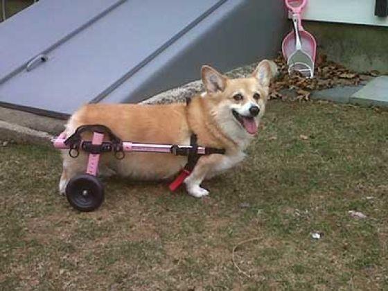 chien corgi paralysie handicap