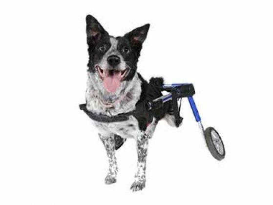 chien paralysie handicap chariot