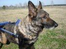 chien k9 handicap chariot