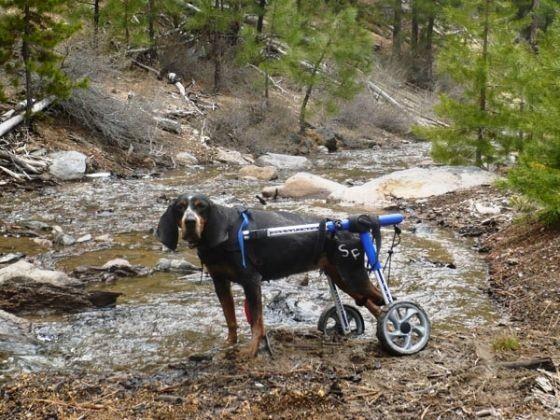 chienne handicap chariot