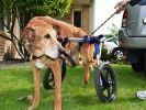 chien handicap chariot