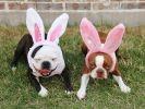 chiens bouledogues oreilles lapin