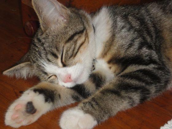 chat goutiière femelle dort