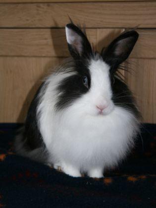 lapin femelle noir blanc