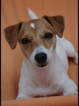 chien jack russell femelle