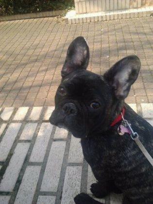chien bouledogue français femelle